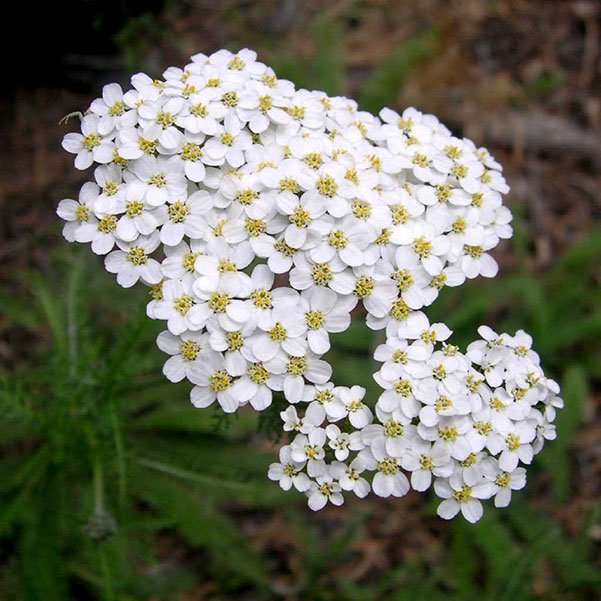 Detail photo of plant with small white flowers